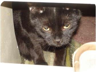 Domestic Shorthair Cat for adoption in Chesapeake, Virginia - Gummi Bear