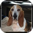 Basset Hound Dog for adoption in Marietta, Georgia - Laney