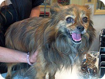 Pomeranian/Papillon Mix Dog for adoption in Phoenix, Arizona - Lola