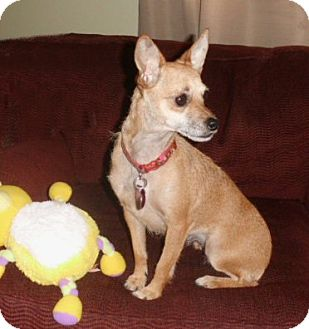 Chihuahua/Terrier (Unknown Type, Small) Mix Dog for adoption in Mooy, Alabama - Brandi