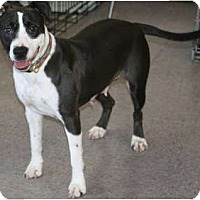 Adopt A Pet :: LadyBug - DFW, TX