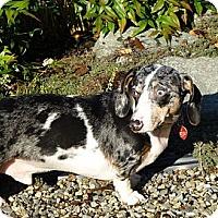 Adopt A Pet :: RUDY - Portland, OR