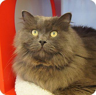 silver savannah cat