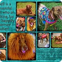 Adopt A Pet :: Bell - Melbourne, FL