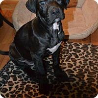 Adopt A Pet :: Levi - Buffalo, NY