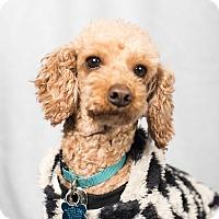 Adopt A Pet :: Daisy - Minneapolis, MN