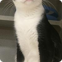Domestic Shorthair Cat for adoption in Tampa, Florida - Aubrey