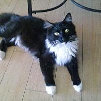 Domestic Mediumhair Cat for adoption in Lancaster, California - Bear