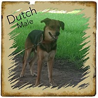 Adopt A Pet :: Dutch in CT - Manchester, CT