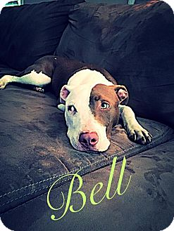 American Pit Bull Terrier Mix Puppy for adoption in Raeford, North Carolina - Belle