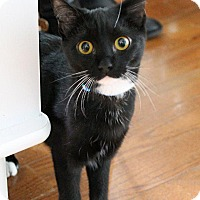 American Shorthair Cat for adoption in Washington, D.C. - Lucy (fka Hermione)