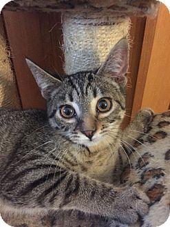Domestic Shorthair Kitten for adoption in Davison, Michigan - Natalie