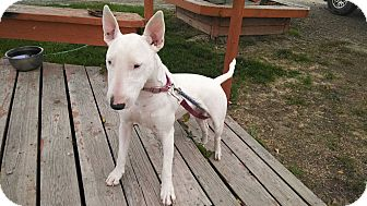 Bull Terrier Dog for adoption in E. Wentachee, Washington - Kenzie