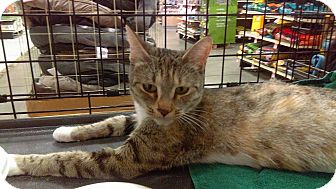 Domestic Shorthair Cat for adoption in Lancaster, California - Hera