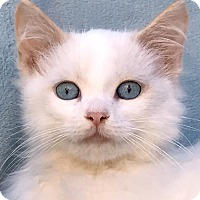 Ragdoll Kitten for adoption in La Jolla, California - Bacall