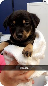 Rottweiler Mix Puppy for adoption in Willows, California - Brendan
