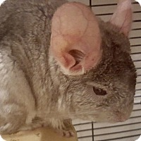 Chinchilla for adoption in Patchogue, New York - Ellie