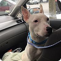 Adopt A Pet :: Maybelline - Villa Park, IL