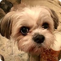 Adopt A Pet :: Milo - ST LOUIS, MO
