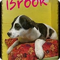 Adopt A Pet :: Brook (DC) - Allentown, PA
