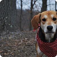 Adopt A Pet :: Violet - New Castle, PA