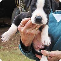 Adopt A Pet :: HENRY - Williston Park, NY