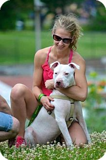 Pit Bull Terrier Mix Dog for adoption in Hillsborough, New Jersey - Joey Pit *good with cats*