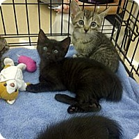 Adopt A Pet :: black kittens - Vero Beach, FL