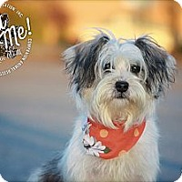 Adopt A Pet :: Baylee - Albany, NY