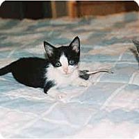 Adopt A Pet :: Slyvestre - Davis, CA