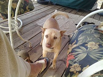Australian Cattle Dog/Chihuahua Mix Dog for adoption in Seligman, Arizona - Jake