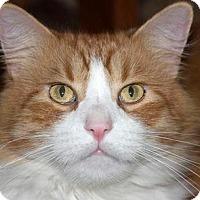 Domestic Mediumhair Cat for adoption in Loganville, Georgia - Cheeto
