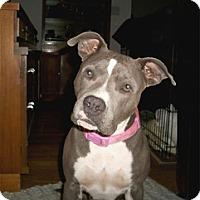 Adopt A Pet :: Bella Blue - Sacramento, CA