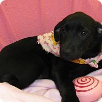 Adopt A Pet :: Reagan - Charlemont, MA