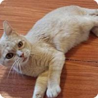 Adopt A Pet :: Sheba - Williamsburg, VA