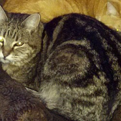 Photo 1 - Domestic Shorthair Cat for adoption in Pasadena, California - Togo