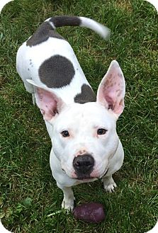 American Pit Bull Terrier Dog for adoption in Fredericksburg, Virginia - Weezy- Courtesy Listing