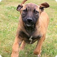 Adopt A Pet :: Belladonna - Glastonbury, CT