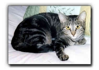 Domestic Shorthair Cat for adoption in Howell, Michigan - E.J.
