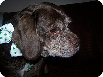 Beagle Mix Dog for adoption in Cambridge, Ontario - Rico