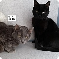 Adopt A Pet :: Iris - Lakewood, CO