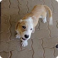 Adopt A Pet :: Gus - Bedford, TX