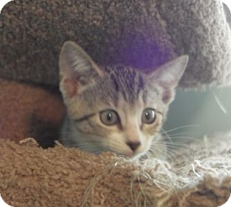 Domestic Shorthair Cat for adoption in Gainesville, Florida - Monty