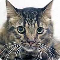 Domestic Shorthair Cat for adoption in Wildomar, California - Patches