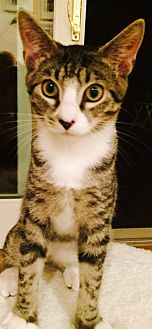 Domestic Shorthair Kitten for adoption in Marlton, New Jersey - Zinny