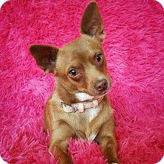 Chihuahua Mix Dog for adoption in North Las Vegas, Nevada - Colleen
