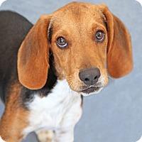 Beagle Mix Dog for adoption in Encinitas, California - Moose
