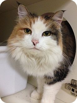 Calico Cat for adoption in Hendersonville, North Carolina - Autumn