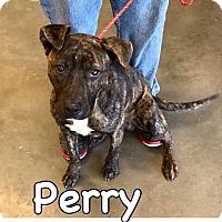 Adopt A Pet :: Perry-URGENT - Springfield, MA