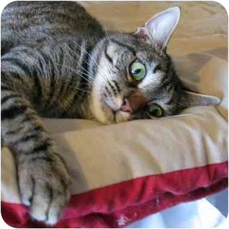 Domestic Shorthair Cat for adoption in Plainville, Massachusetts - Ethel